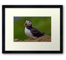 Puffin Framed Print