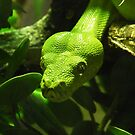 Green Tree Python, Chester Zoo, UK by Michaela1991