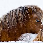 Fuzzy in the Snow, horses in Montana winter by Donna Ridgway