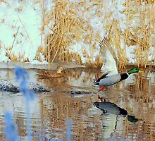 Winter mallards by Alan Mattison