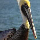 Brown Pelican by Edvin  Milkunic