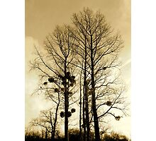 Holly trees Photographic Print