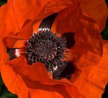 Oriental Poppy by Mike Freedman
