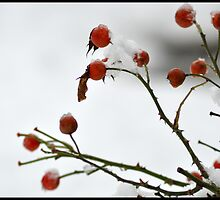 Berries in the snow by Peter Harpley