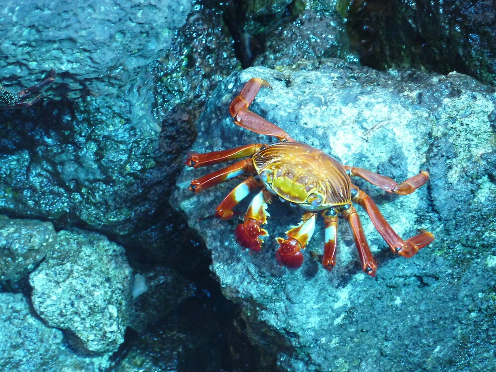 Sally Lightfoot crab by tripi100