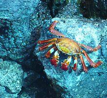 Sally Lightfoot crab by tripi100