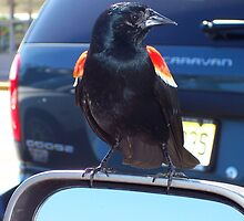 Redwing Blackbird on sideview mirror by apendjurin
