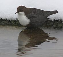 The White-throated Dipper (Cinclus cinclus) by DutchLumix