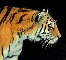 Tiger,Tiger burning bright by Alan Mattison