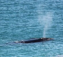 Great Southern Right Whale by Cheryl Parkes