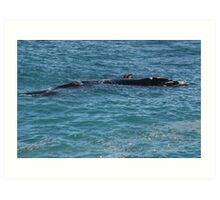 Southern Right Whale Calf Art Print