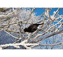 Snow & blackbird Photographic Print