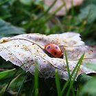 ladybird on dried leaf by knockknock