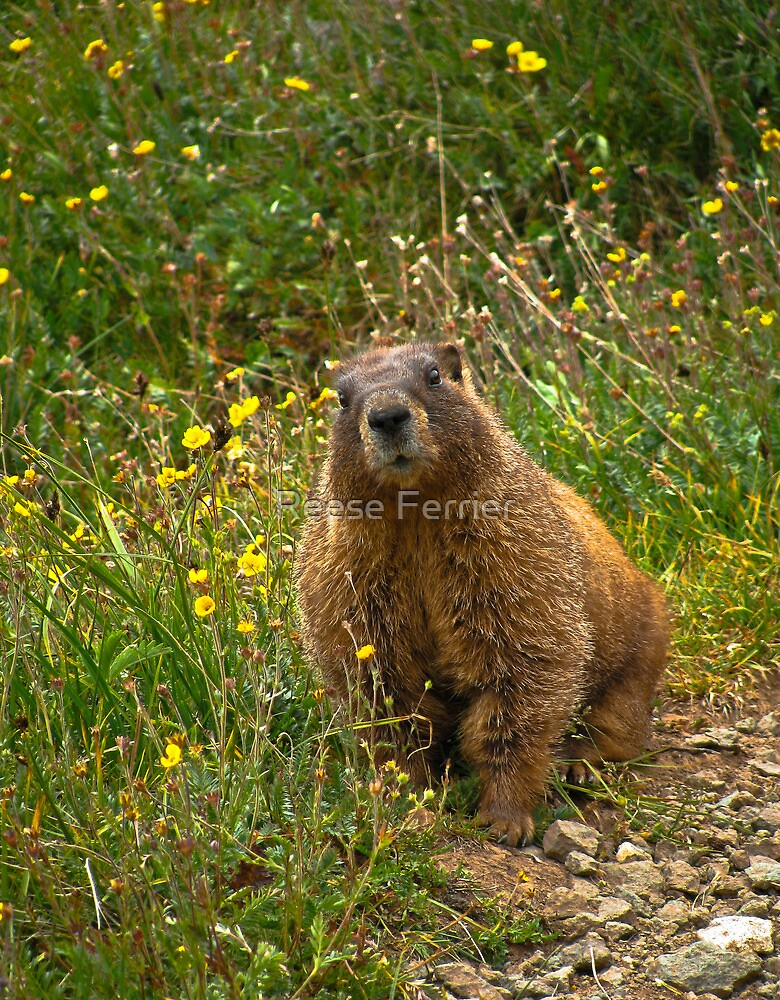 Curious Marmot by Reese Ferrier