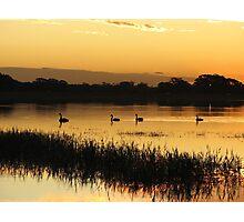 Black Swans on Sunset Photographic Print