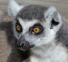 I Do Not Believe It - Ring-tailed Lemur by Margaret Saheed