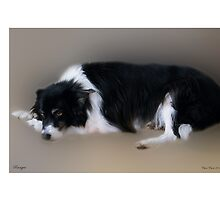 Ranger - Scottish Border Collie by Chris Clark