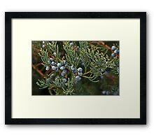 Juniper berries and brush Framed Print