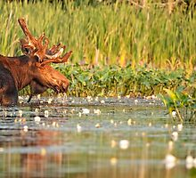 Moose In The Marsh by Bill Maynard