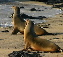 Beautiful Galapagos Sea Lion by cute-wildlife