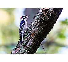 Downy Woodpecker Photographic Print