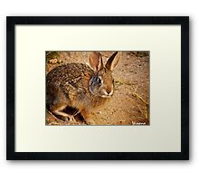 This is a Baby Cottontail Framed Print