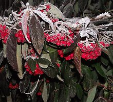Berries surviving the winter by Stephen Willmer