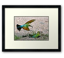 Rainbow Bee-eater 401 Framed Print