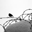 Bird on barbed wire by Esther  Molin