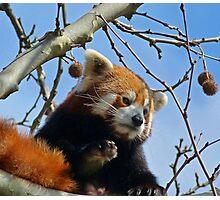 Red Panda Exploring Photographic Print