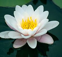 Lily Pad flower by Joe Bashour