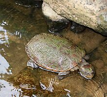 Snapping Turtle by Robyn Williams