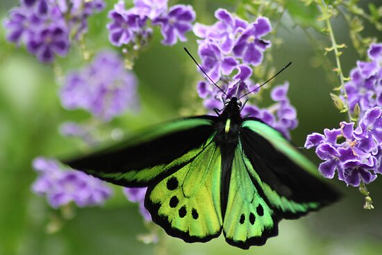 The male Cairns Birdwing by robmac
