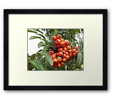 Rowan Tree Berries Framed Print
