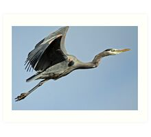 Great Blue Heron <> Off to a Safer Perch Art Print