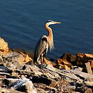 Great Blue Heron by debidabble