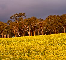 Canola under Stormy Skies by Michelle  Wrighton