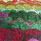 Colourful Fields of Cresantemot by Nira Dabush