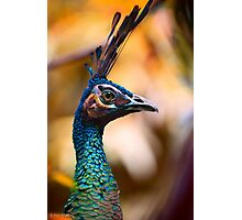 Perfectly poised and proud Peacock with plumage aplenty posing for pictures in profile Photographic Print