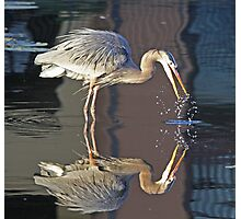 Great blue heron with reflection Photographic Print