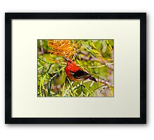 Scarlet Honeyeater Framed Print