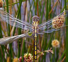 The Secret World of the Golden Dragonfly  by Alison Lee Cousland