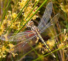 Golden Dragonfly ~ Hanging on by Alison Lee Cousland