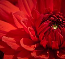 Red Dahlia by onyonet photo studios