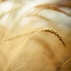 wheat by Shirley Bittner