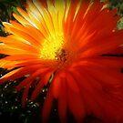 Succulent - Common Orange Pigface in Garden by EdsMum