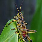 Lubber Grasshopper by Ostar-Digital