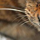 DOF meoww..... by Kornrawiee