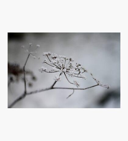 Winter Fennel Photographic Print