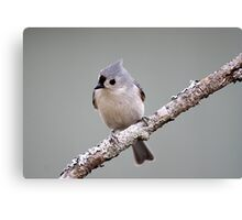 Tufted titmouse perched on a branch Canvas Print
